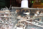 Birds for sale in the animal market in Jakarta