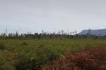 Peatland forest deforested for rubber [kalbar_0011]