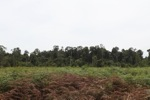 Peatland forest deforested for rubber