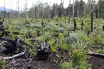 Deforested area being planted with pineapple and other crops after logging and burning [kalbar_0024]
