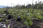Deforested area being planted with pineapple and other crops after logging and burning [kalbar_0014]
