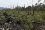 Deforested area being planted with pineapple and other crops after logging and burning