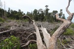 Deforested peat forest in West Kalimantan, Indonesia [kalbar_0053]