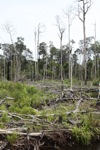 Deforested peat forest in West Kalimantan, Indonesia [kalbar_0054]