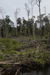 Deforested peat forest in West Kalimantan, Indonesia [kalbar_0058]