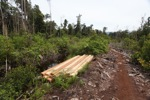 Illegal logging in the rainforest of Indonesian Borneo