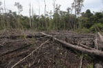 Destroyed forest in Borneo