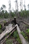 Deforested peat forest in West Kalimantan, Indonesia [kalbar_0070]