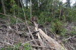 Stump of a rainforest tree in a deforested peatland landscape