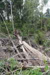 Deforested peat forest in West Kalimantan, Indonesia