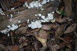 White fungi [kalbar_1513]