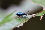 Indigo blue beetle