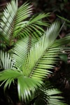 Rainforest palm in the understory
