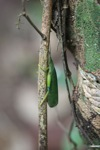 Green leaf-like katydid [kalbar_0090]