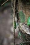 Green leaf-like katydid [kalbar_0091]