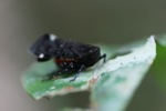 Black, purple, turquoise, red and orange leafhopper [kalbar_0123]