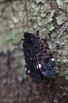 Black, purple, turquoise, red and orange leafhopper [kalbar_0115]