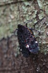 Black, purple, turquoise, red and orange leafhopper [kalbar_0131]
