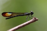 Damselfly with rainbow wings