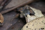 Ground toad