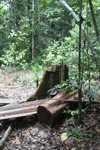Illegal cut timber