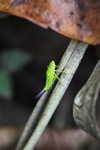 Small neon green insect with orange spots [kalbar_0186]