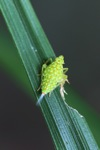 Small neon green insect with orange spots [kalbar_0195]