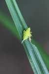 Small neon green insect with orange spots [kalbar_0199]