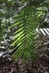 Palm fron