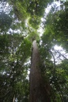 Meranti tree [kalbar_0226]