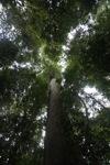 Meranti tree [kalbar_0224]