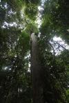 Meranti tree [kalbar_0227]