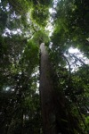 Meranti tree