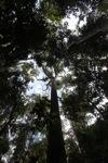 Towering rainforest tree