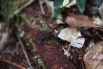 Leaf toad [kalbar_0248]