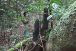 Penis-like termite nests