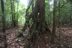 Roots of a rain forest tree
