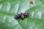 Brightly colored cicada [kalbar_0289]