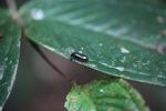 Shiny beetle [kalbar_0313]