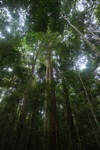 Borneo rain forest trees
