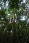 Borneo rain forest trees (person in lower right for scale)