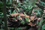 Reddish-brown fungi [kalbar_0327]