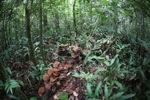 Reddish-brown fungi