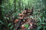 Reddish-brown fungi in the rainforest