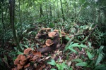Rust-colored fungi in the rain forest