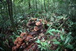 Rust-colored fungi in the rain forest [kalbar_0336]