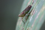 Green leafhopper [kalbar_0353]