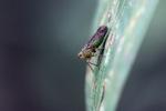 Green leafhopper [kalbar_0354]