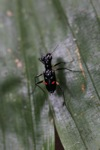 Black tiger beetle with two red spots [kalbar_0370]