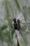 Black tiger beetle with two red spots